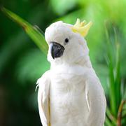 sulphur-crested cockatoo - stock photo