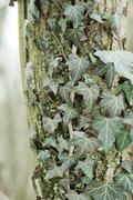 Ivy leaves on an trunk of tree Stock Photos