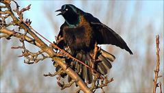 Grackle blackbird shows feathers Stock Footage