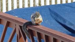 Squirrel eats bagel Stock Footage