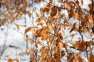 Stock Photo of Yellow autumnal leaves on blurry background