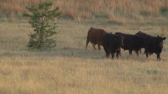 Cows Walking Stock Footage