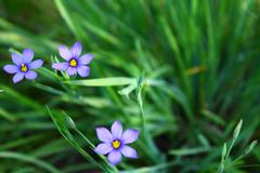 Flowers Blue eyed grass soft forcus Sisyrinchium bellum California USA - stock photo