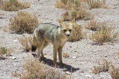 Fennec, atacama desert Stock Photos