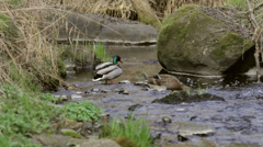 Pair of Lesser Duck in small creek in spring Stock Footage