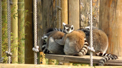 Lemur family Stock Footage