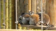 Stock Video Footage of Lemur family