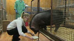 Girl feeding small black pig Stock Footage