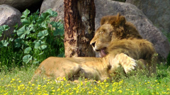 The Lion Licking Stock Footage