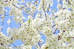 Cherry blossom with white flowers Stock Photos