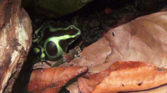 Green and black poison arrow frog Stock Footage