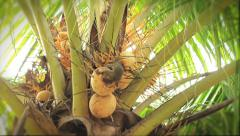 Time-lapse of a squirrel munching a coconut Stock Footage