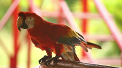 Beautiful Red Parrot Stock Footage