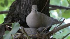 COLLARED DOVE NEST #4 Stock Footage