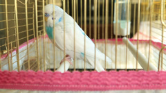 Blue and white budgie Stock Footage