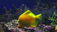 Yellow sailfin tang Stock Footage