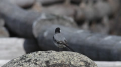 White wagtail standing on a round stone Stock Footage