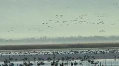 Tundra Swans Stock Footage
