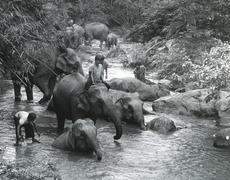 Elephants bathing,Thailand Stock Photos