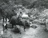 Elephants bathing,Thailand Stock Photos
