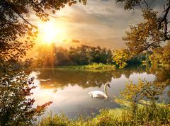Swan on the pond - stock photo