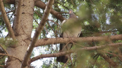 Beautiful wild pigeon standing on the branch and flyaway,close up Stock Footage