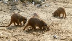Meerkats. Suricates. Suricata suricatta. Stock Footage