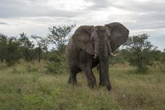 Big elephant in kruger park Stock Photos