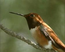 Perched Rufous Hummingbird (selasphorus rufus) - close up Stock Footage