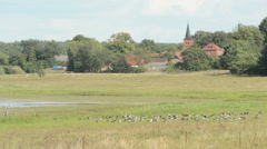Wild geese resting on meadow at Havelland (Germany) Stock Footage