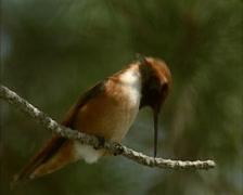 Rufous Hummingbird (selasphors rufus) rubbing beak against branch - low angle Stock Footage