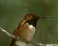 Perched Rufous Hummingbird (selasphorus rufus) flies away and returns Stock Footage