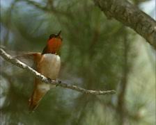 Rufous Hummingbird (selasphorus rufus) lands on branch Stock Footage
