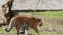 The Siberian tiger. Amur tiger walking. Stock Footage