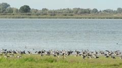 Wild geese on the lake at Havelland (Germany) Stock Footage