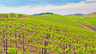 Stock Video Footage of 4k motorized dolly timelapse video of grape vines in a vineyard