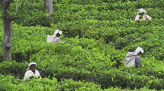 Plantation workers in Sri Lanka - stock footage