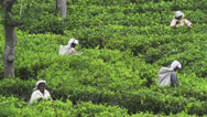 Plantation workers in Sri Lanka Stock Footage