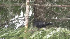 Crow in Snowy Forest Stock Footage