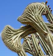cactus, aruba, abc islands - stock photo