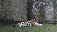 The Siberian tiger, Amur tiger. Stock Footage