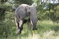 big elephant in kruger park - stock photo