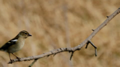 Female Chaffinch on Branch Stock Footage