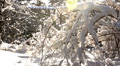 trees in the snow in the winter forest, dolly 12 Footage