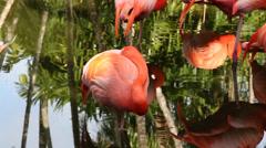 American Flamingo, Phoenicopterus ruber Stock Footage