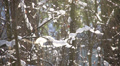 trees in the snow in the winter forest, dolly 4 Footage