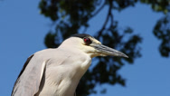 Stock Video Footage of Black-crowned Night Heron