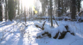 trees in the snow in the winter forest, dolly 1 HD Footage