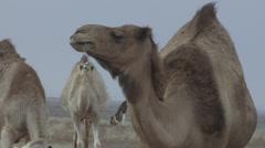 African Camel in Herd Chews Closeup Stock Footage