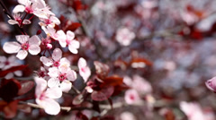 Close up of Prunus cherry tree branch in bloom in the wind. Stock Footage